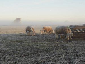 schapen01