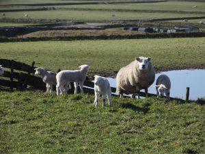 schapen02