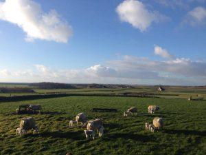 schapen03